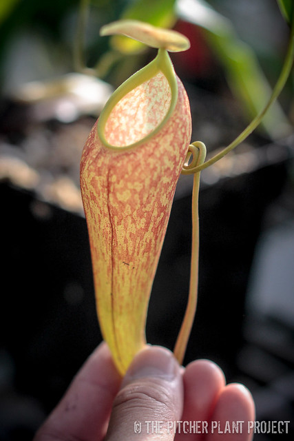 nepenthes thorelii x aristolochioides