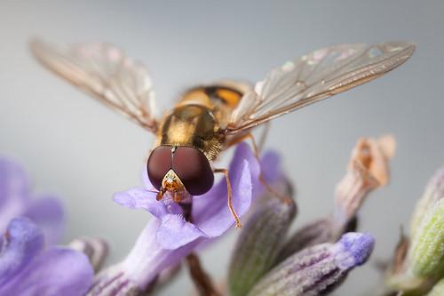 Episyrphus balteatus ♂