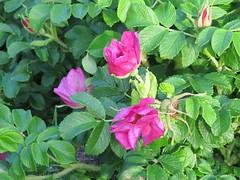 rosa acicularis(0.0), annual plant(1.0), shrub(1.0), garden roses(1.0), floribunda(1.0), flower(1.0), rosa gallica(1.0), plant(1.0), rosa rubiginosa(1.0), flora(1.0), rosa rugosa(1.0),
