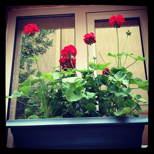 Young red geraniums