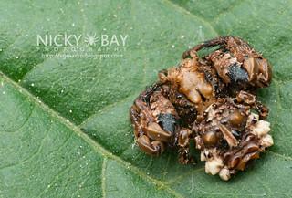 Bird Dung Crab Spider (Phrynarachne sp.) - DSC_8595