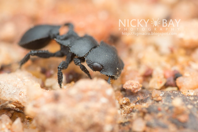 Armored Ant (Cataulacus sp.) - DSC_9882