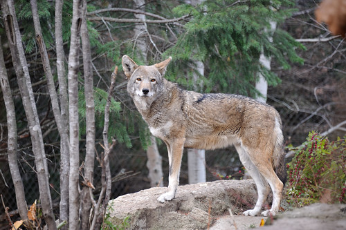 Red Wolf by bk bob
