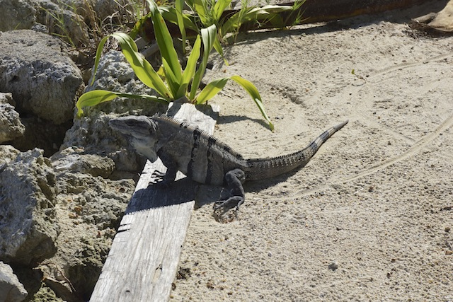 Belize 47 iguana