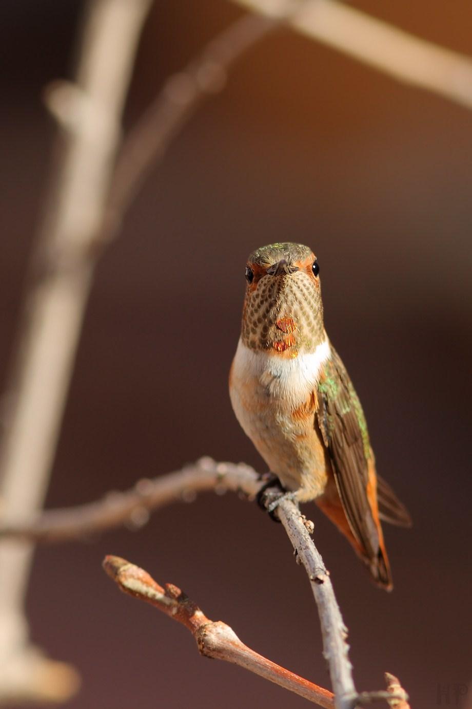 Allen's Hummingbird 112212