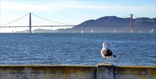 sanfrancisco seagulls bridges fences goldengatebridge hff fencefriday