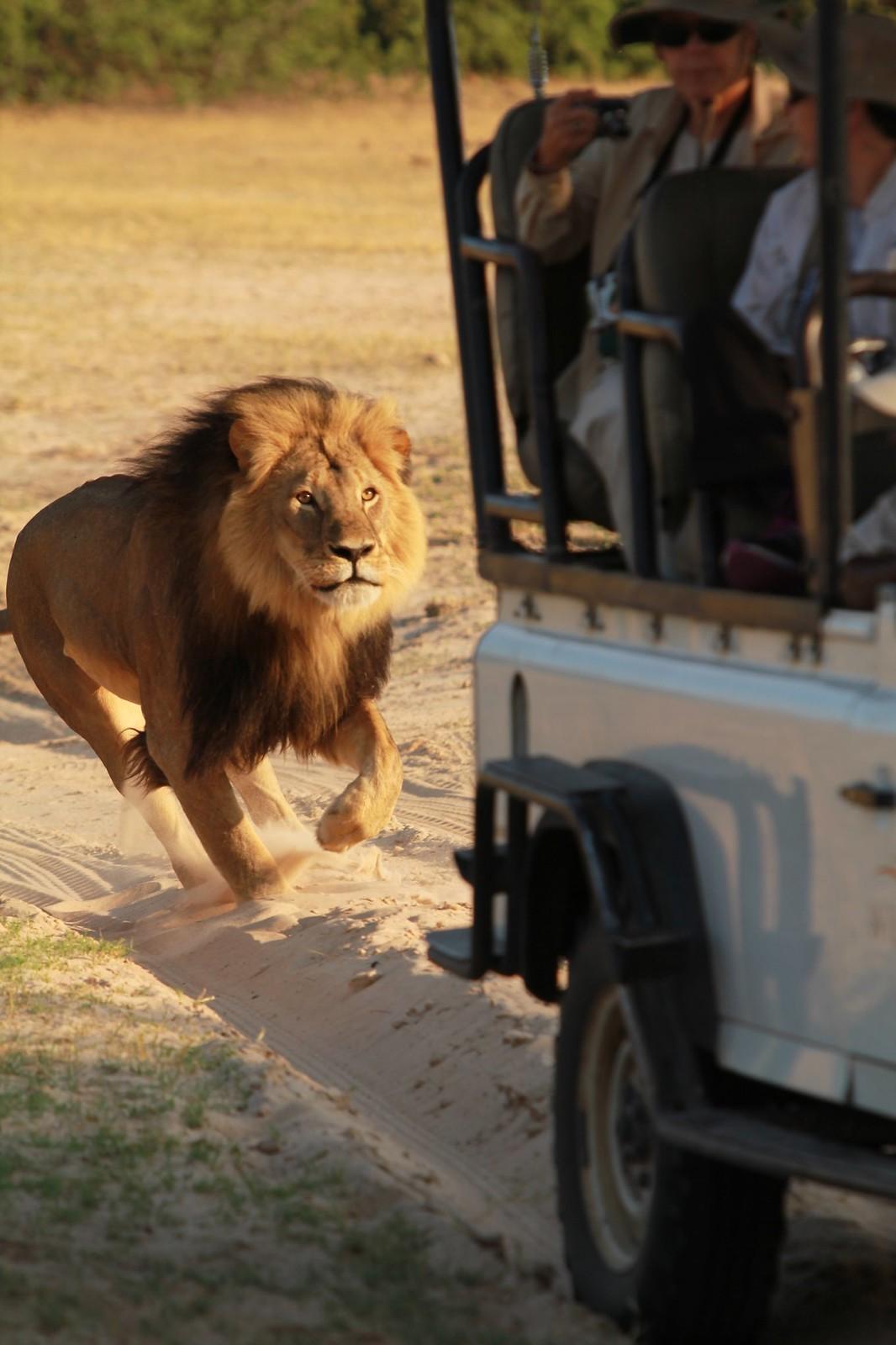 Cecil the famous black maned Lion of Hwange - Deceased July 2015!
