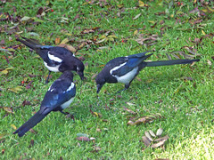 animal, fauna, eurasian magpie, bird, wildlife,
