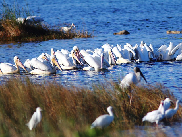 Pelicans feeding cooperatively 20121125