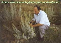 Julián Segarra recolectando planta salvaje de absenta.