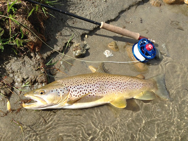 south island brown