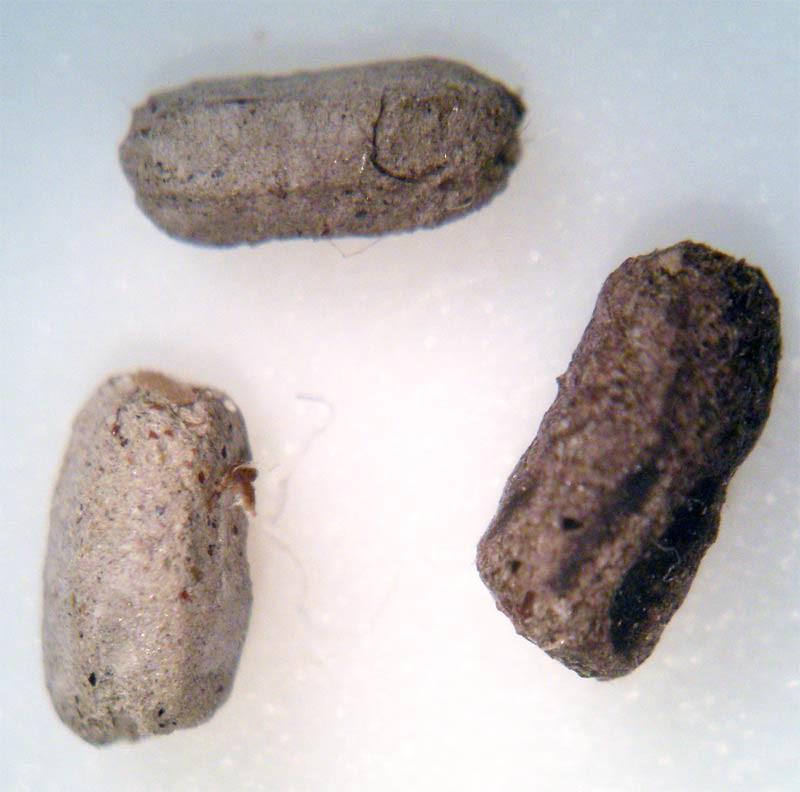 Foto 2. Excrementos de cucaracha americana./ Desinsectador 03-11-2012