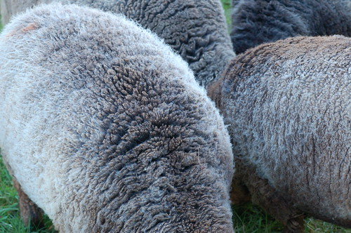 Ryeland wool (on the hoof)