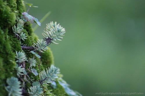 tiny succulent w