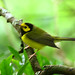 Hooded Warbler_390 (Corvo, Azores, 11 Oct 2008) © Dominic Mitchell
