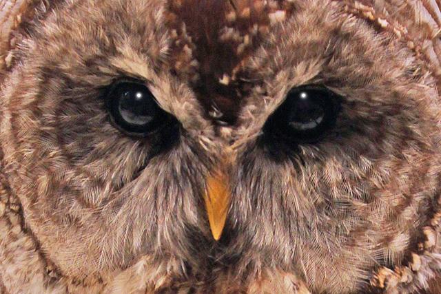 Owl specimen