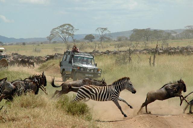 Herds running across road.HR.RM