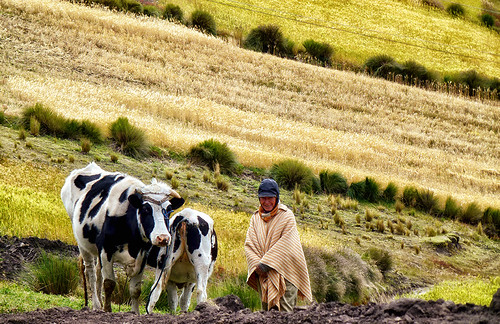 woman highlands ecuador cows native indian greens hay agriculture