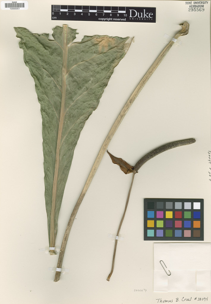 Araceae_Anthrium purpureospathum2
