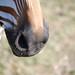 Zebra Nose by Hannah Caracalas