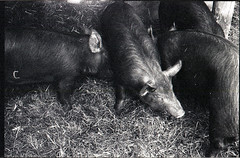 Pigs of Riverdale Farm
