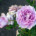 Yorkshire Bank rose Gage Park Memorial Rose Garden.JPG