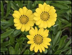 I love yellow flowers-3=