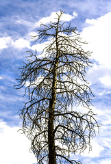 Evergreen Tree - Not!