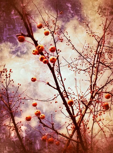Orange Fruit, Crabapple Tree