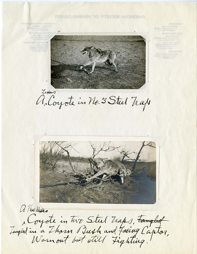Coyotes in traps,  1909-1918