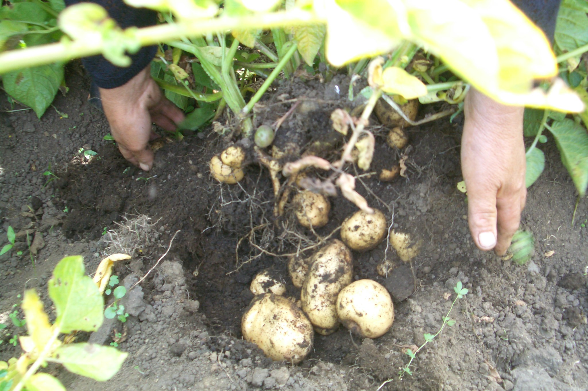Potato variety, Chiloé island (Chile)