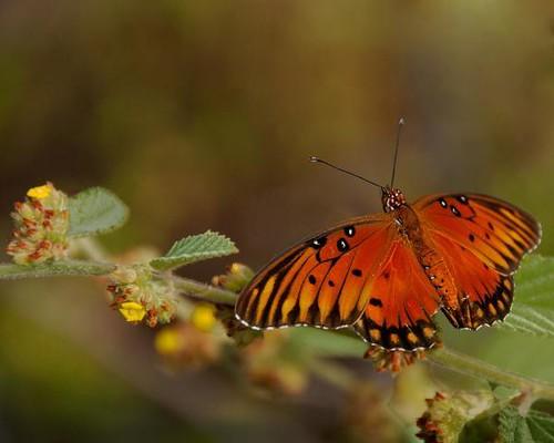 leopard-print-butterfly