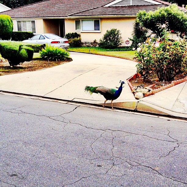 Currently racing a peacock down a suburban street. (And winning, I might add.)
