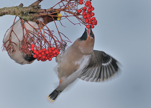 Waxwing8 by Andy Pritchard - Barrowford