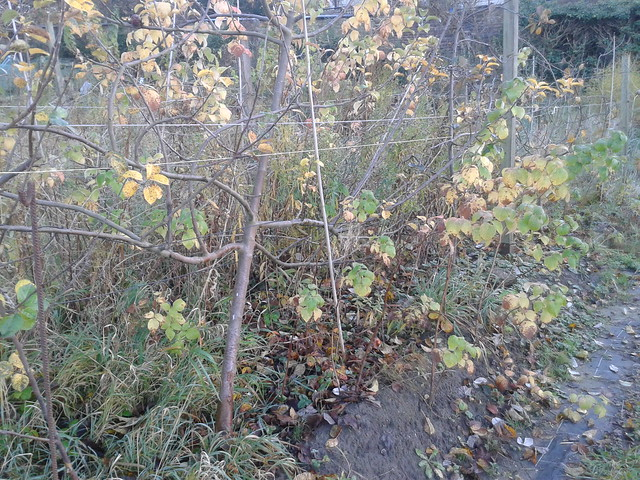 allotment monday - prune it all down!