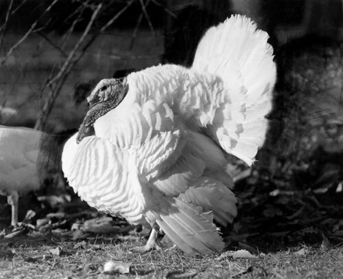 The Beltsville Small White turkey, developed by USDA scientists in the 1930s, met the American homemaker's needs and secured turkey's starring role on holiday tables