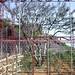 Théier Dong Fang Hong de 500ans protégé des cueillettes illégales, Guangdong