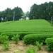 Jardin du Sencha Fukamushi Aji à Shizuoka