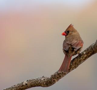 Foggy morning Cardinal.