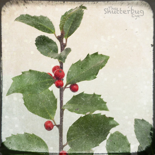 Christmas Holly by The Shutterbug Eye™