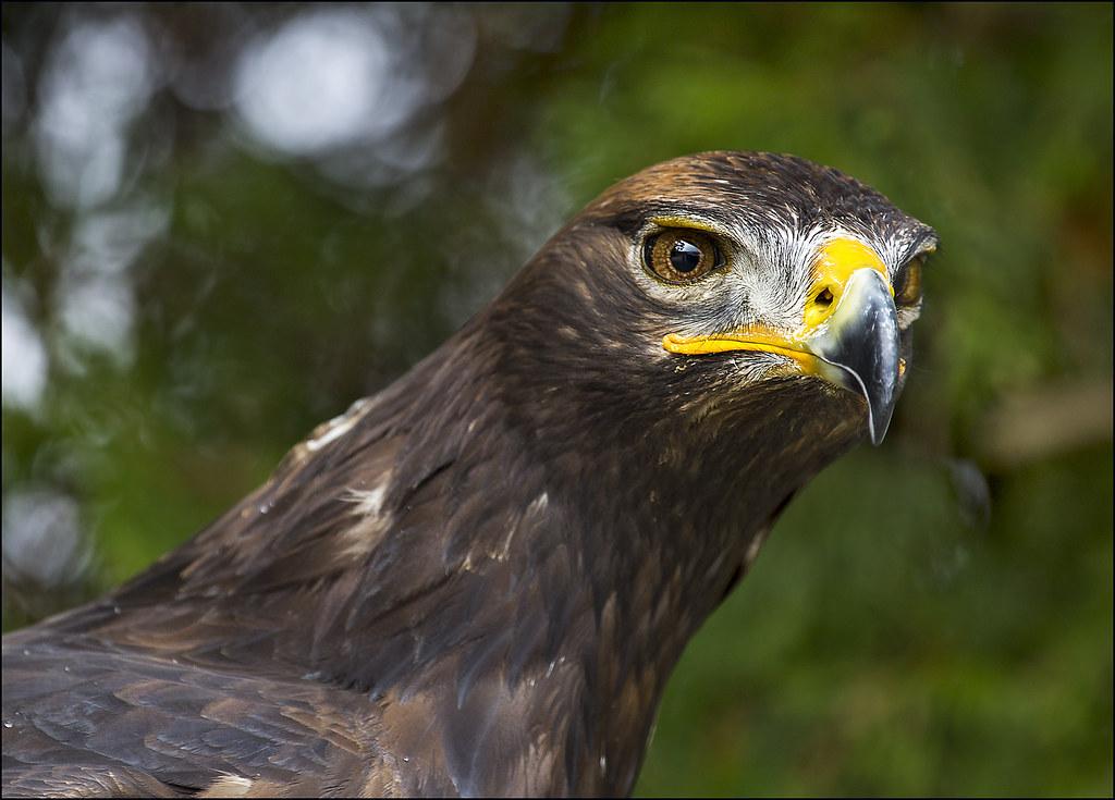 brown eagle-Edit