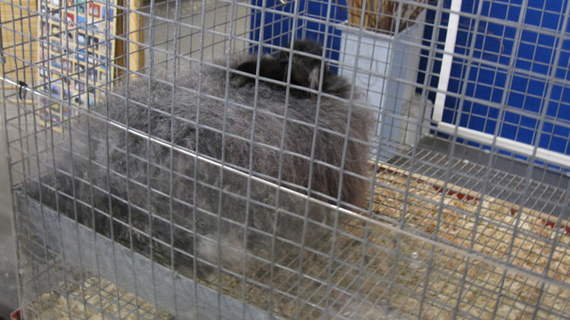 Very fluffy grey rabbit