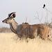 Kudu & fork-tailed drongo