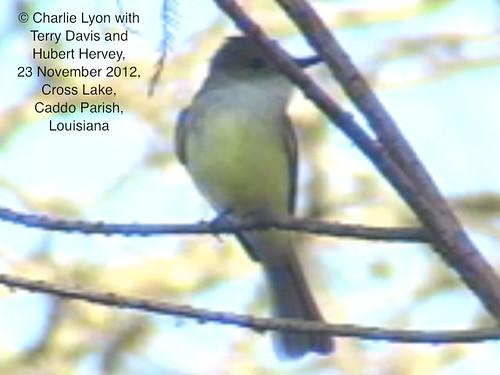 rarebird duskycappedflycatcher myiarchustuberculifer firststaterecord
