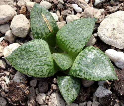 Haworthia 'Glass compto' seedling (home cross) by picta67