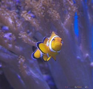 Série com Peixes - Peixe-palhaço ou Peixe-das-anémonas - Series with fishes - 01-12-2012 - IMG_5637
