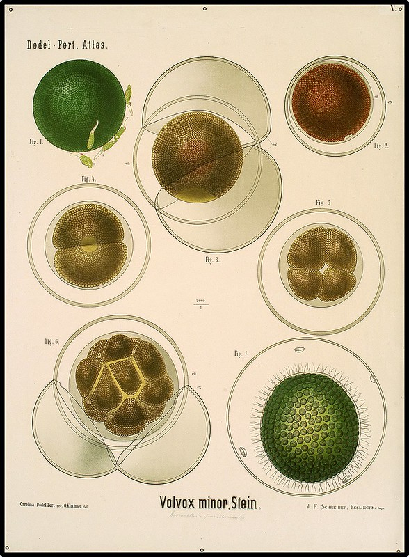 microscopic views of volvox algae species in educational poster
