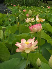 Jens Amazing Lotus Flower Research Environment Institute Blog