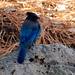 Our friendly neighborhood Stellers Jay #inBend #bird