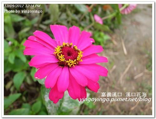 嘉義溪口_溪口花海20121209_R0010800